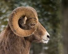 Rocky Mountains Bighorn Sheep
