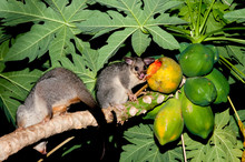 Possums Eating Red Pawpaw Off ...