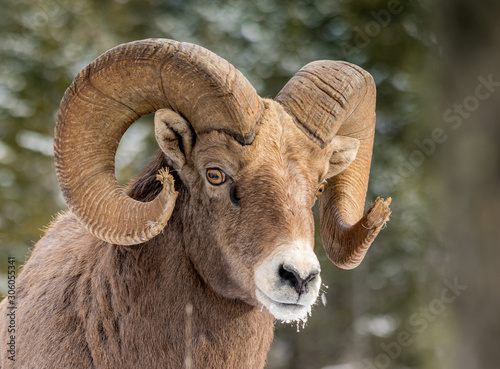 Photo Rocky Mountains Bighorn sheep