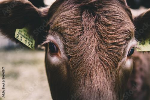 Photo  junge braune neugierige Kuh mit braunem Fell