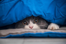 British Shorthair Cat Hiding Under The Quilt And Looking Out