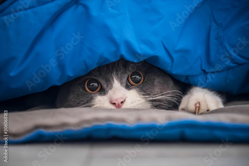 Cuadros en Lienzo British shorthair cat hiding under the quilt and looking out