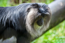 Close Up Of A Lion-tailed Macaque (Macaca Silenus)