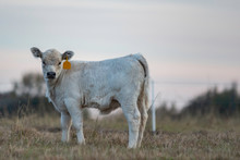 White Calf Shot At Dusk From Low Angle