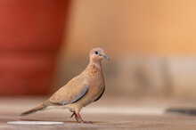 Laughing Dove Or Spilopelia Se...