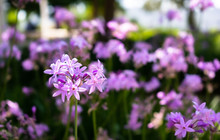 Purple A Verbena Flower. Flowe...