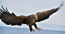 Adult White-tailed Eagle In Fl...