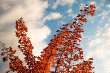 Autumn Red Leaves On Blue Sky
