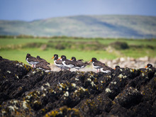 Oystercatcher On A Rock In Ire...