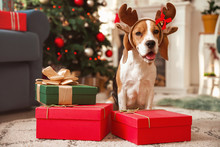 Cute Dog With Deer Horns And Gifts In Room Decorated For Christmas