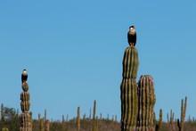 Águila En Cactus