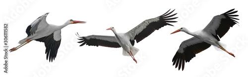 Fototapeta Collection flying storks isolated on white