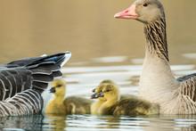 Greylag Goose Goslings In Spring