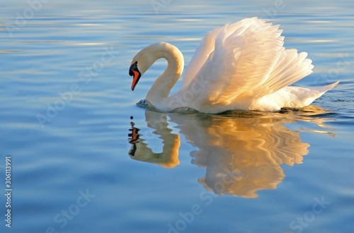 Fototapeta graceful swan looking at it's reflection