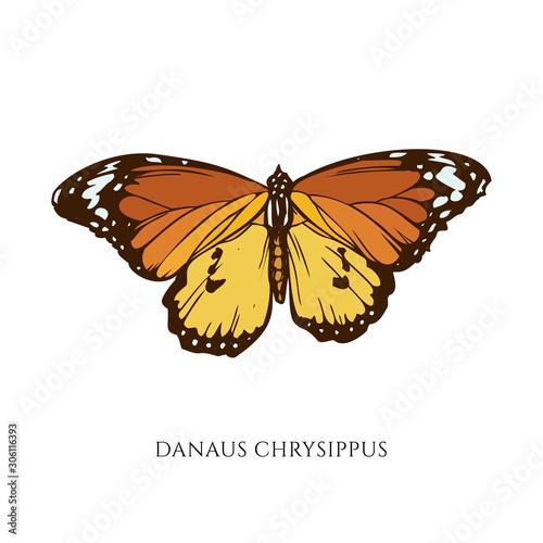Vászonkép Vector set of hand drawn colored danaus chrysippus