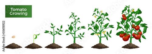 Fototapeta Tomato Plant Growing Set obraz