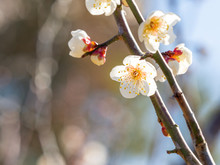 Japanese Plum Blossoms Are Fully Bloomed.