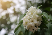 Andaman Satinwood, Chanese Box Tree, Cosmetic Bark Tree, Orange Jasmine, Jessamine, Murraya Paniculata. White Flower With Green Leaves.