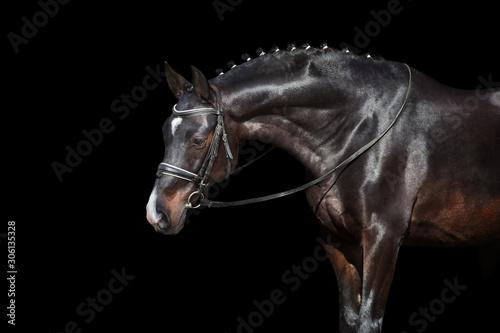 Horse portrait in bridle isolated on black background Fototapeta