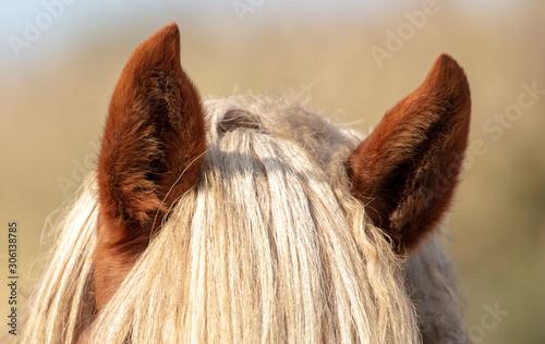 Obraz na płótnie The ears of the horse
