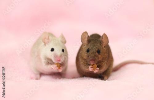 Obraz na plátně 仲良く一緒に食事してる2匹のハツカネズミとピンク色の背景