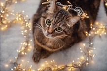 Portrait Of Brown Marble Tabby Cat With Green And Yellow Eyes Laying On Snow With Christmas Yellow Light