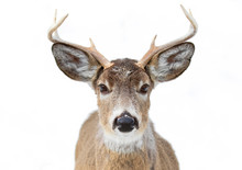 Trophy White-tailed Deer Buck ...