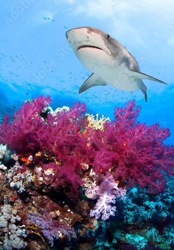 Kolorowa podwodna rafa koralowa z dużym rekinem tygrysim