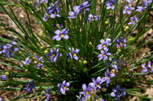 Little Blue-eyed Grass, Sisyrinchium Montanum