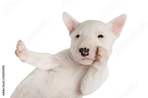 Fotografiet Funny white Miniature Bull Terrier puppy over white