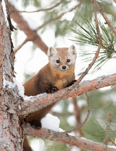 Pine Marten On A Snow Covered Tree Branch In Algonquin Park, Canada