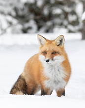 Red Fox Vulpes Vulpes Isolated On White Background With A Bushy Tail Hunting In The Freshly Fallen Snow In Algonquin Park In Canada