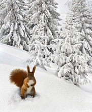 Winter Landscape Of Mountains With Of Fir Forest With Squirrel Near Spruce In Snow