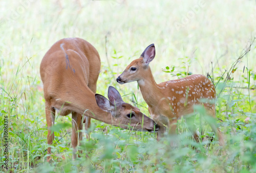 Photographie White-tailed deer fawn and doe share a tender moment in the forest in Ottawa, Ca