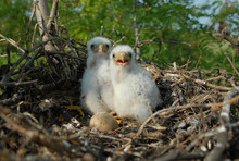 Beautiful Little Eagle In The Nest
