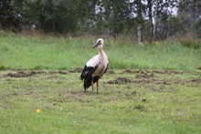 White European Stork, Ciconia Bird On Green Field In Countryside