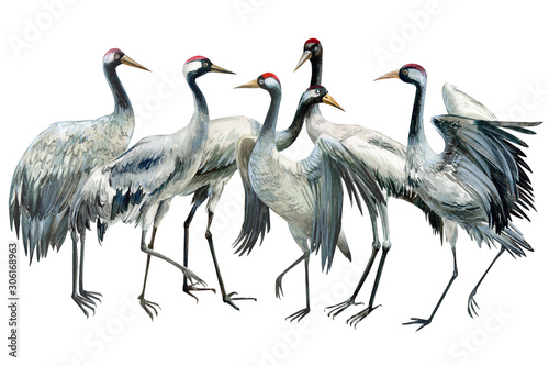 Naklejki żurawie  set-of-beautiful-birds-crane-on-isolated-white-background-watercolor-illustration