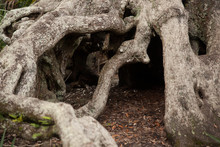 Twisted And Gnarly Tree Roots