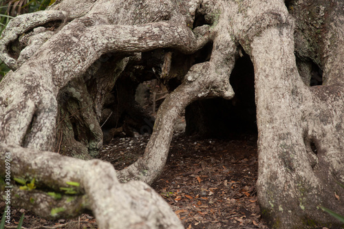 Fototapeta Twisted and gnarly tree roots