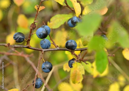 Valokuva Sloe berries on a sloe bush in autumn close up detail