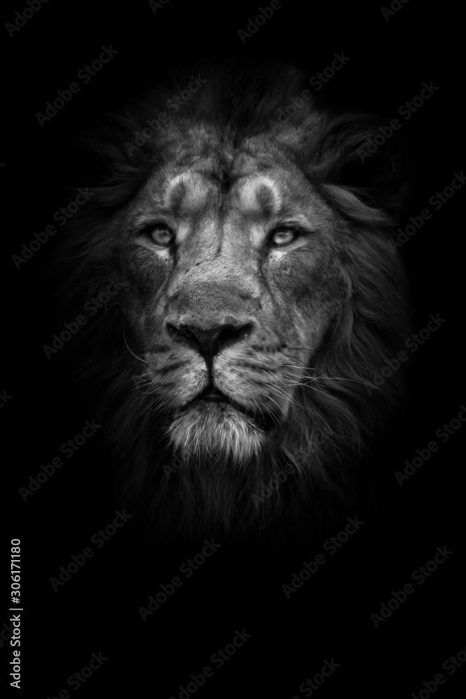 Fototapeta lunar beast (ashen). Portrait full face. powerful male lion with a chic mane impressively lies.