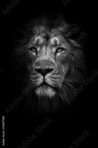 Fototapety, obrazy: lunar beast (ashen). Portrait full face. powerful male lion with a chic mane impressively lies.