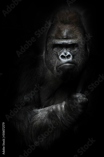 Portrait of a powerful dominant male gorilla , stern face and powerful arm. isolated black background.