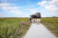 Four Cows Stroll Along A Path With Purple Flowers On Either Side On A Summer Day On The Island Of Schiermonnikoog.