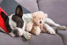 French Bulldog Sleeping On The Coach With Teddy Bear