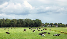 Herd Of Cows Lying Down And Gr...