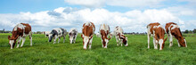 Herd Of Cows Graze In A Field,...