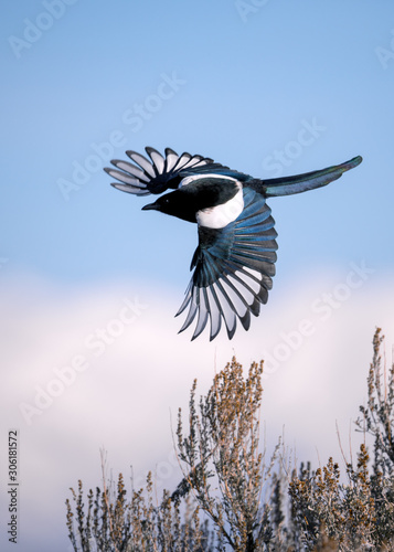 Black-billed magpie Wallpaper Mural