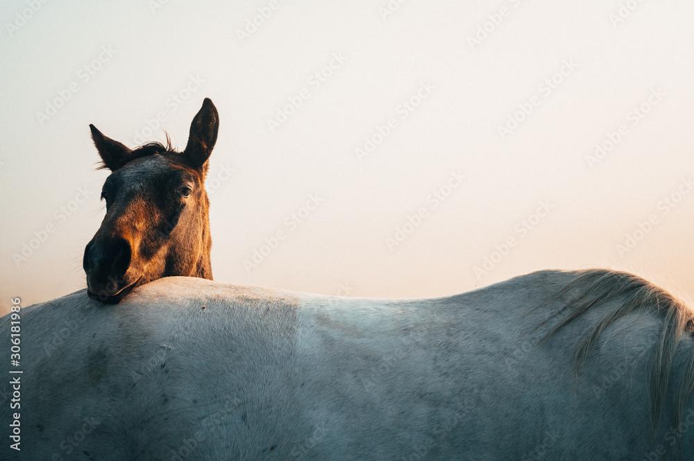 Fototapeta Two horses, black and white horse, animals life, white edit space