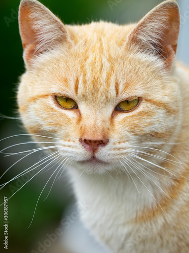 A yellow feral cat posing for the camera